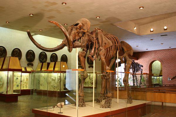 Мамонт Трофимова в палеонтологическом музее