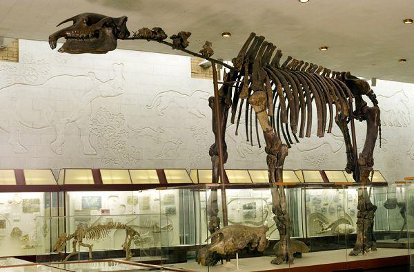 Скелет носорога индрикотерия в палеонтологическом музее