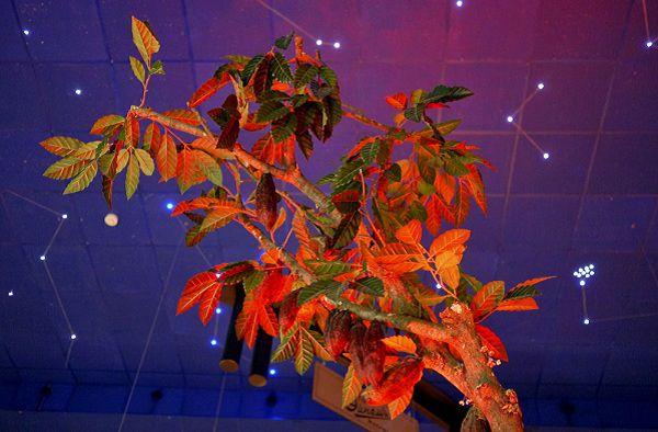 Дерево какао в музее истории шоколада и какао