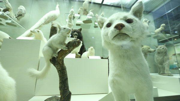 Животные белого окраса в Дарвиновском музее
