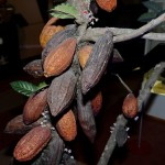 Плоды дерева какао в музее шоколада
