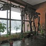 Скелет индрикотерия в палеонтологическом музее