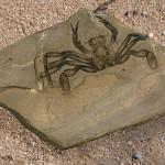 Краб портунус в палеонтологическом музее