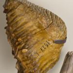 Зуб мамонта в палеонтологическом музее