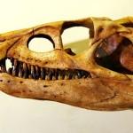 Череп ахрозавтра в палеонтологическом музее