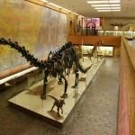 Скелет диплодока в палеонтологическом музее