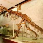 Скелет таброзавра в палеонтологическом музее