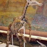 Скелет гигантского завролофа в палеонтологическом музее