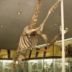 Скелет бориссякии в палеонтологическом музее