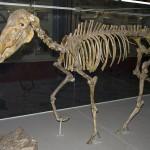 Скелет гиппариона в палеонтологическом музее