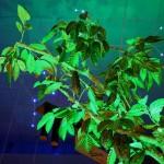 Ветвь дерева какао в обыгрывании зеленым цветом в музее шоколада