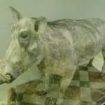 Бородавочник в зоологическом музее