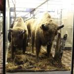 Буйволы в зоологическом музее