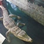 Крокодил в зоологическом музее