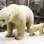 Белый медведь в зоологическом музее