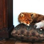 Муляж лисы в музее Цветаевой
