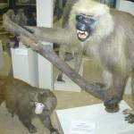Обезьяны в зоологическом музее