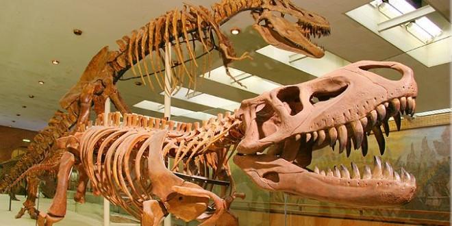 Престозух в палеонтологическом музее