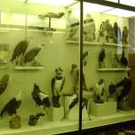 птицы в зоологическом музее