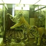 Тигры в зоологическом музее
