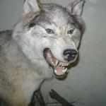 волк в зоологическом музее