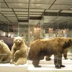 Медведи в Дарвиновском музее