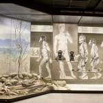 Иллюстрация эволюции человека в Дарвиновском музее