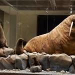Моржы в Дарвиновском музее