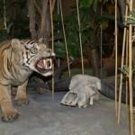Саблезубый тигр в Дарвиновском музее