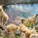 Барашки в Дарвиновском музее