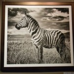 Фотография зебры в центре фотографии братьев Люмьер